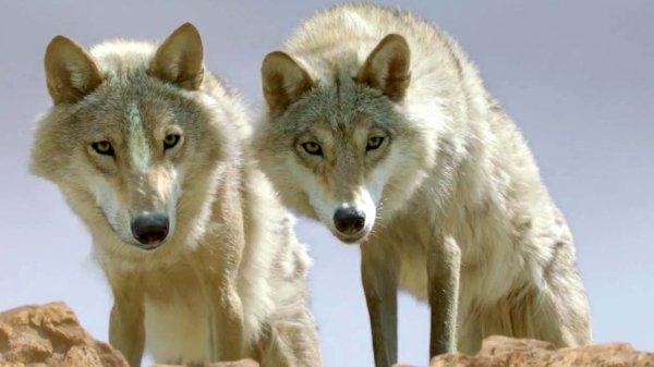Loups - Renversant
