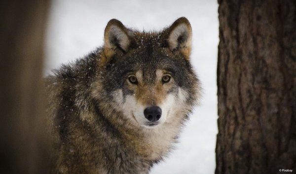 Retour du Loup en Belgique - Email de WWF