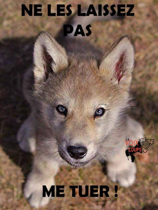 Nos amis les loups méritent + que nous, d'être sur cette terre !!!!