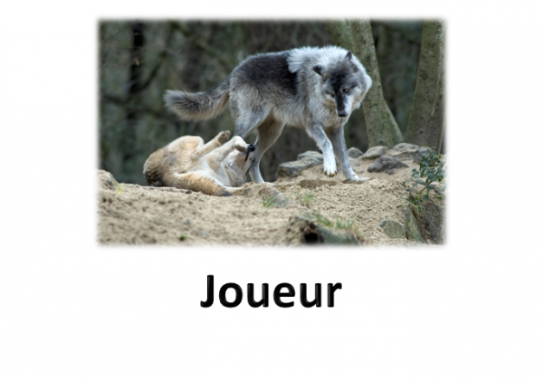 Attitudes des Loups