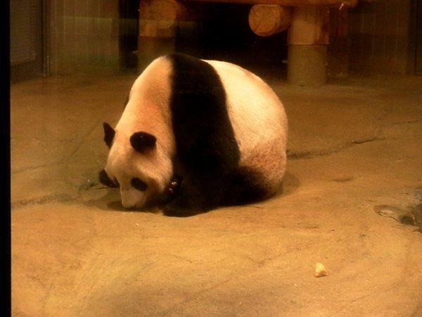 Et les pandas comment ils vont?