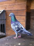 Photo de pigeonvoyageur51