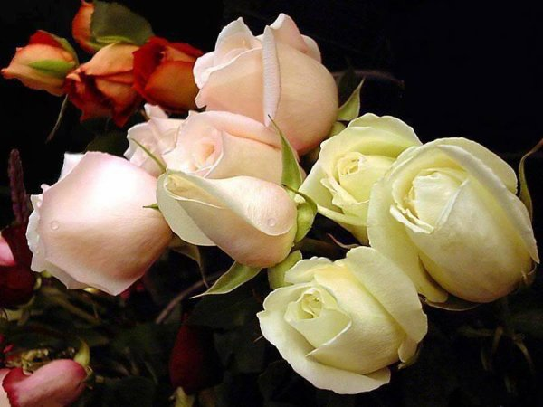 de  jolie   roses