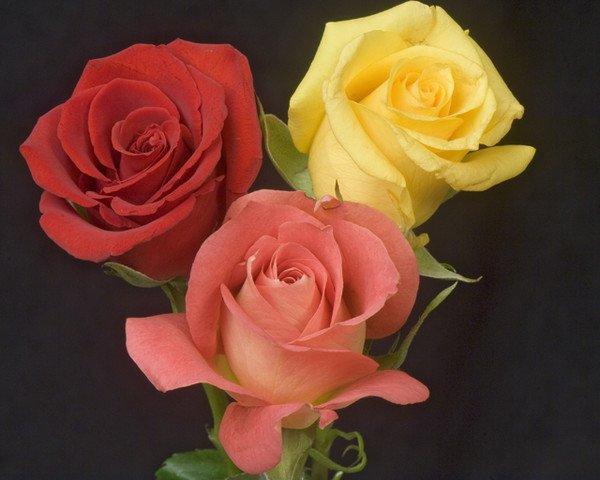 pour vous  ses  roses