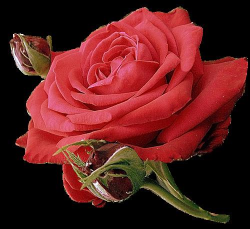 cadeaux des roses pour vous