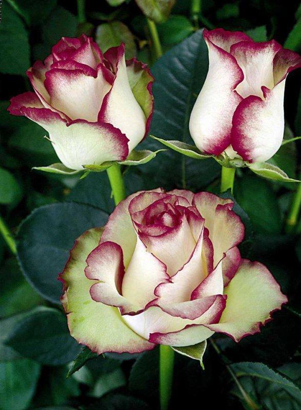 je  vous  offres  ses  roses