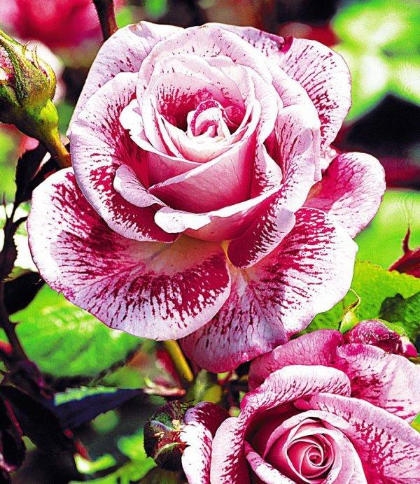 des roses pour vous 😘😘😘