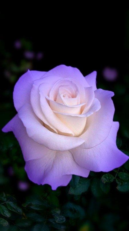 une rose pour vous