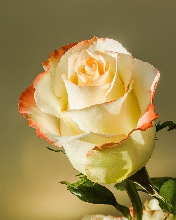 une rose pour vous 😍