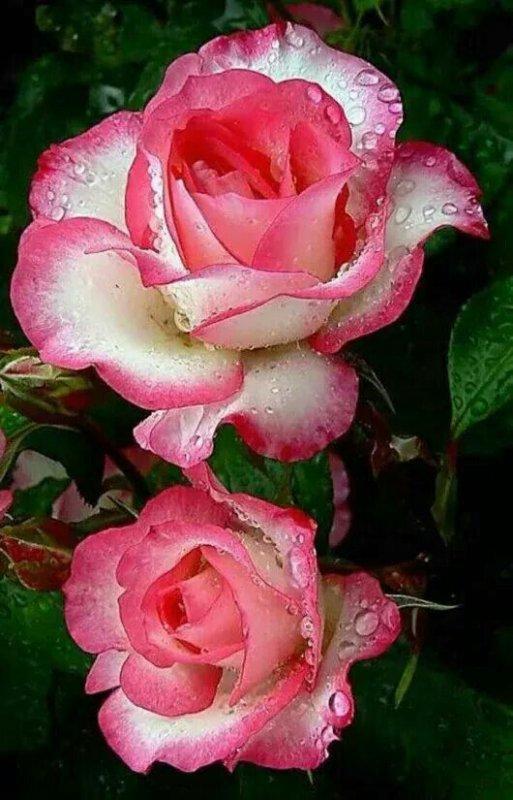 jolie rose c'est pour vous