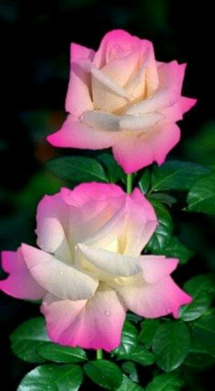 Pour vous cette jolie rose