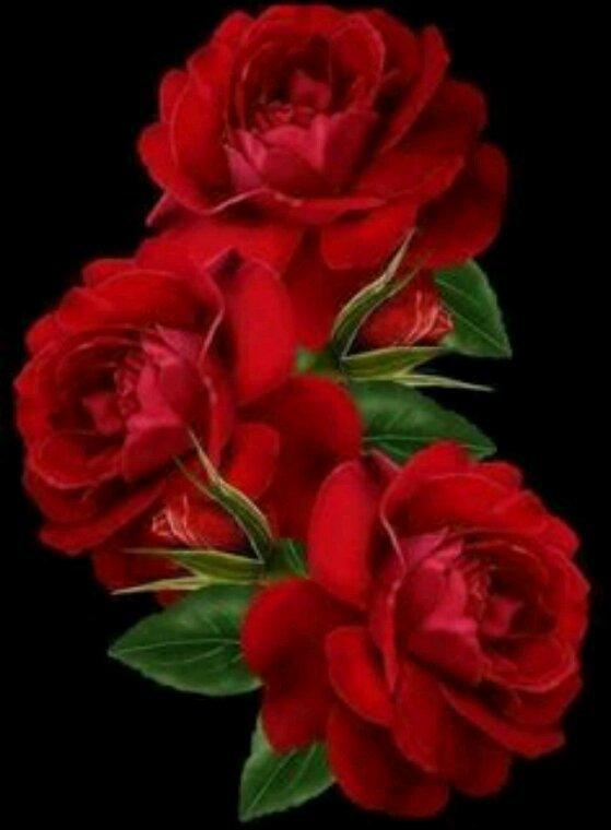 Des jolies Roses rouges pour vous