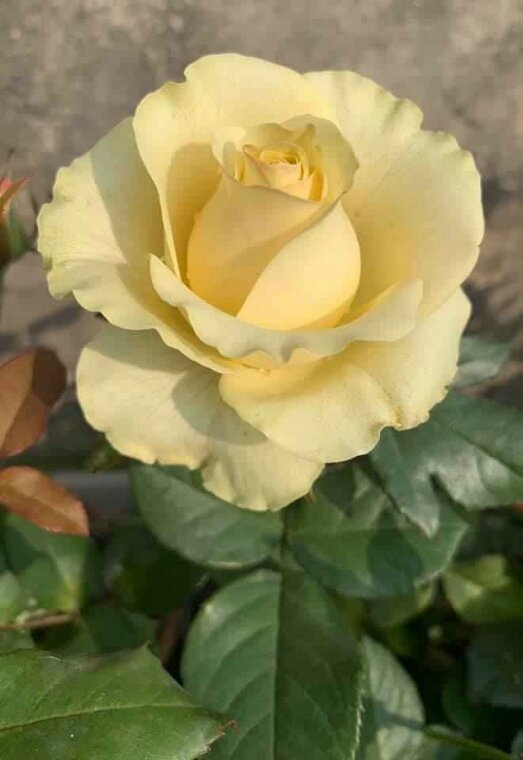 Très Jolie aussi cette Rose prenez si vous Aimez