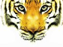 Photo de tigre2111