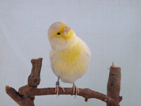 mâle isabelle jaune mosaique medaille argent Almeria