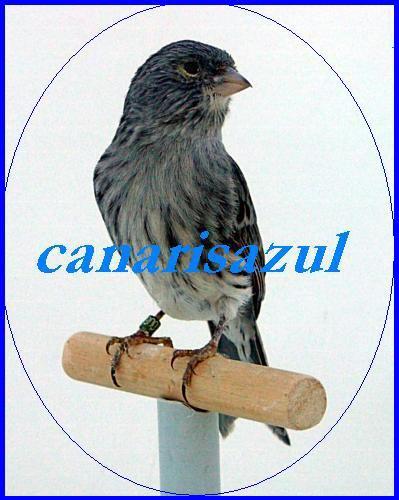Canaris Azul