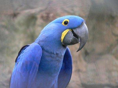 Ara bleu les plus grand perroquet du monde perroquet 76500 - Quel est le plus grand porte avion du monde ...