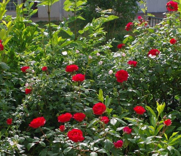Quelque roses de mon jardin