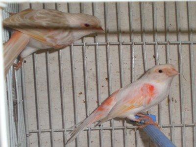 Mes petites canaris  2011