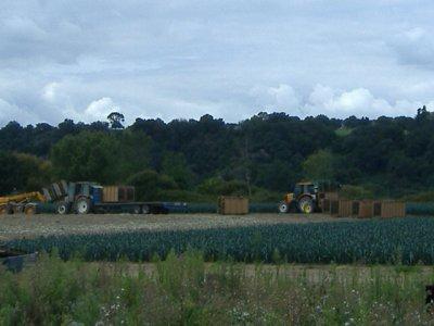 chantier de récolte de poireau