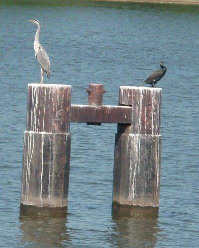 héron et cormoran