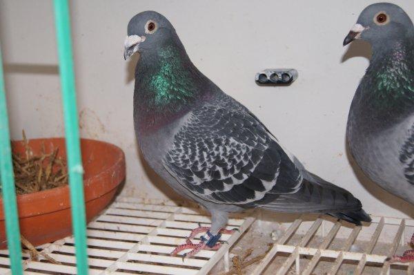 2 eme pigeon sur Barcelone a 19 h 26