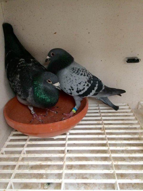 Premier pigeon de constater sur Barcelone 2017