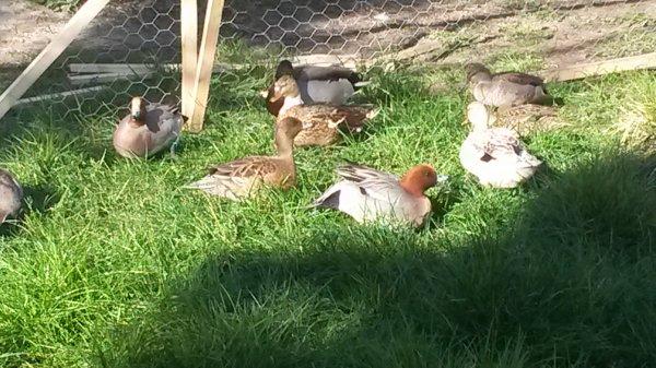 mes canard au parc