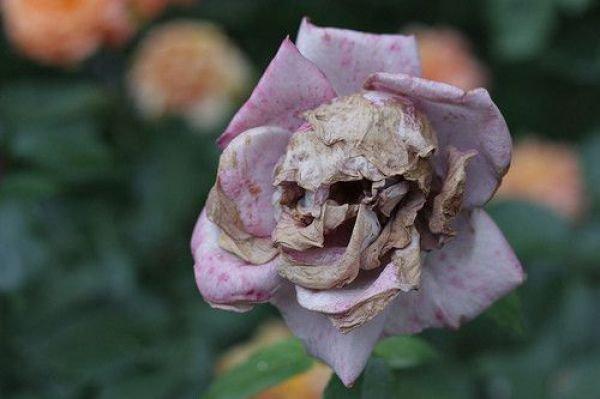 Rose de mort