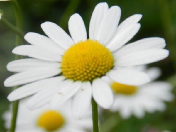 Marguerite :)