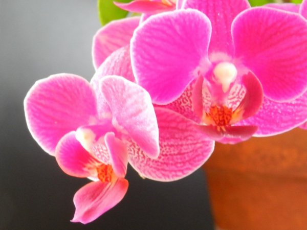 la mini orchidée