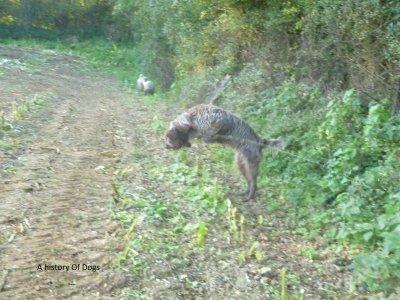 Les chiens à la chasse
