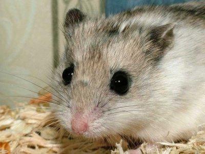 Bien comprendre le hamster
