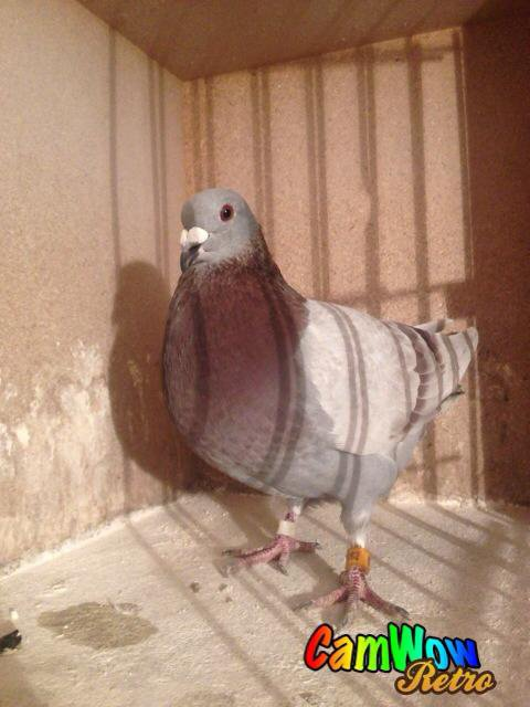 pigeon tardif meunier