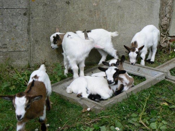 naissance de 6 bébés chevres naines (3 femelles et 3 males)