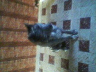 mon chien akita inu
