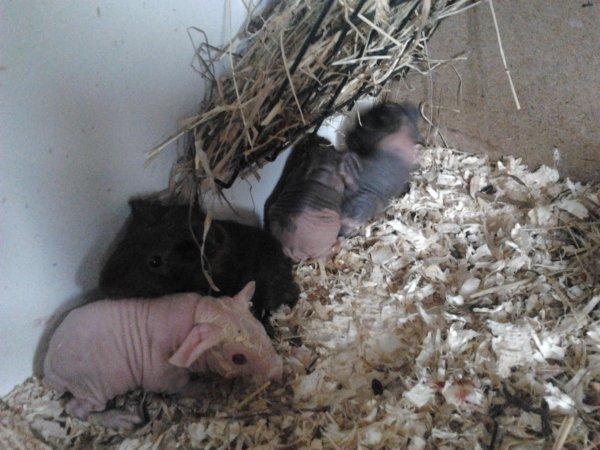 naissance le 19 avril 2013 un porteur skinny male et 3 skinny 1 male 2 femelle