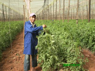 Youssef fait le palissage de tomate techniciensspecialises - Piquet de tomate ...