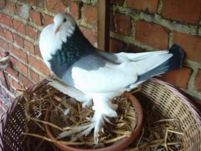 Voici mon premier pigeon!