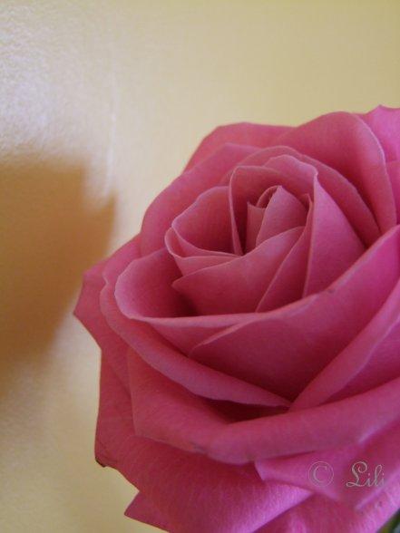 La rose, signe de l'amour...