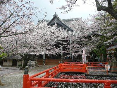 Le temps des cerisiers en fleur est arrivé.