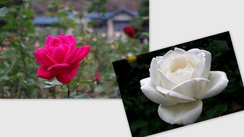 Les roses du jardin du Musée de littérature de Kamakura