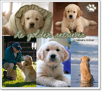 Article o3 : Le golden retriever (ou rapporteur doré).