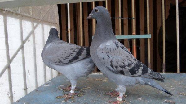 Pigeonneaux