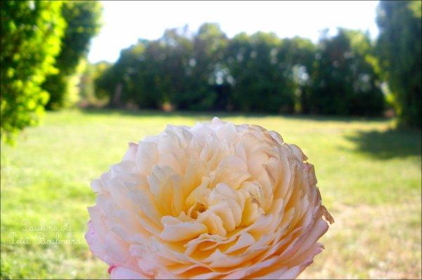 Le temps d'une rose.