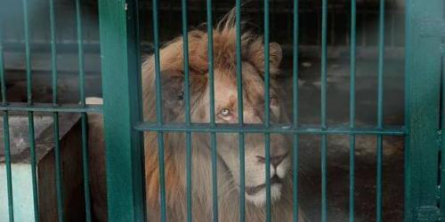 En Belgique les animaux sauvages dans les cirques: c'est terminé !