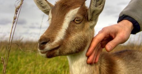 2 ans ferme pour avoir massacré une chèvre.