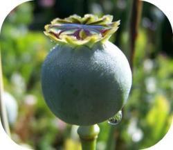 l'histoire de l'opium
