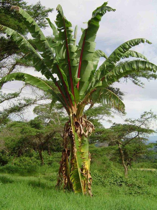 la petite histoire de la banane et du plantain
