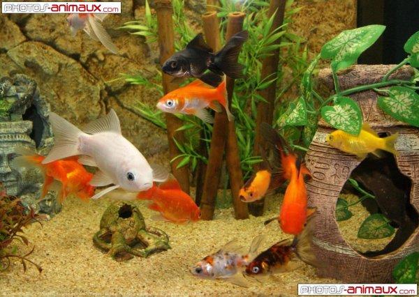 d'où viennent les poissons rouges?